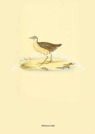 Olivaceous Crake